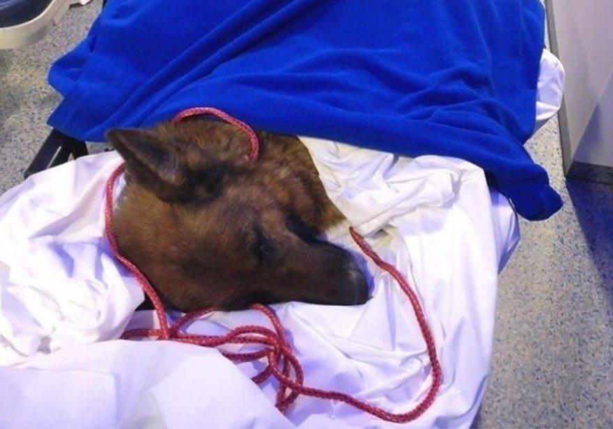 德國牧羊犬Rapunzel,6個月前在德國法蘭克福附近失蹤,結果在300多公里外...