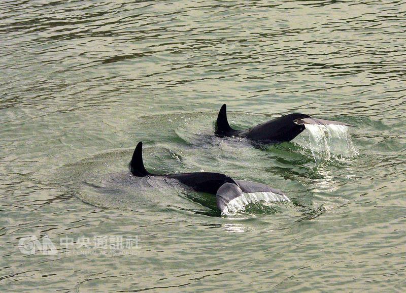 高雄港13日又有多隻小鯨豚(圖)誤闖港區,海巡艦艇協同相關單位順利引導護送牠們出...
