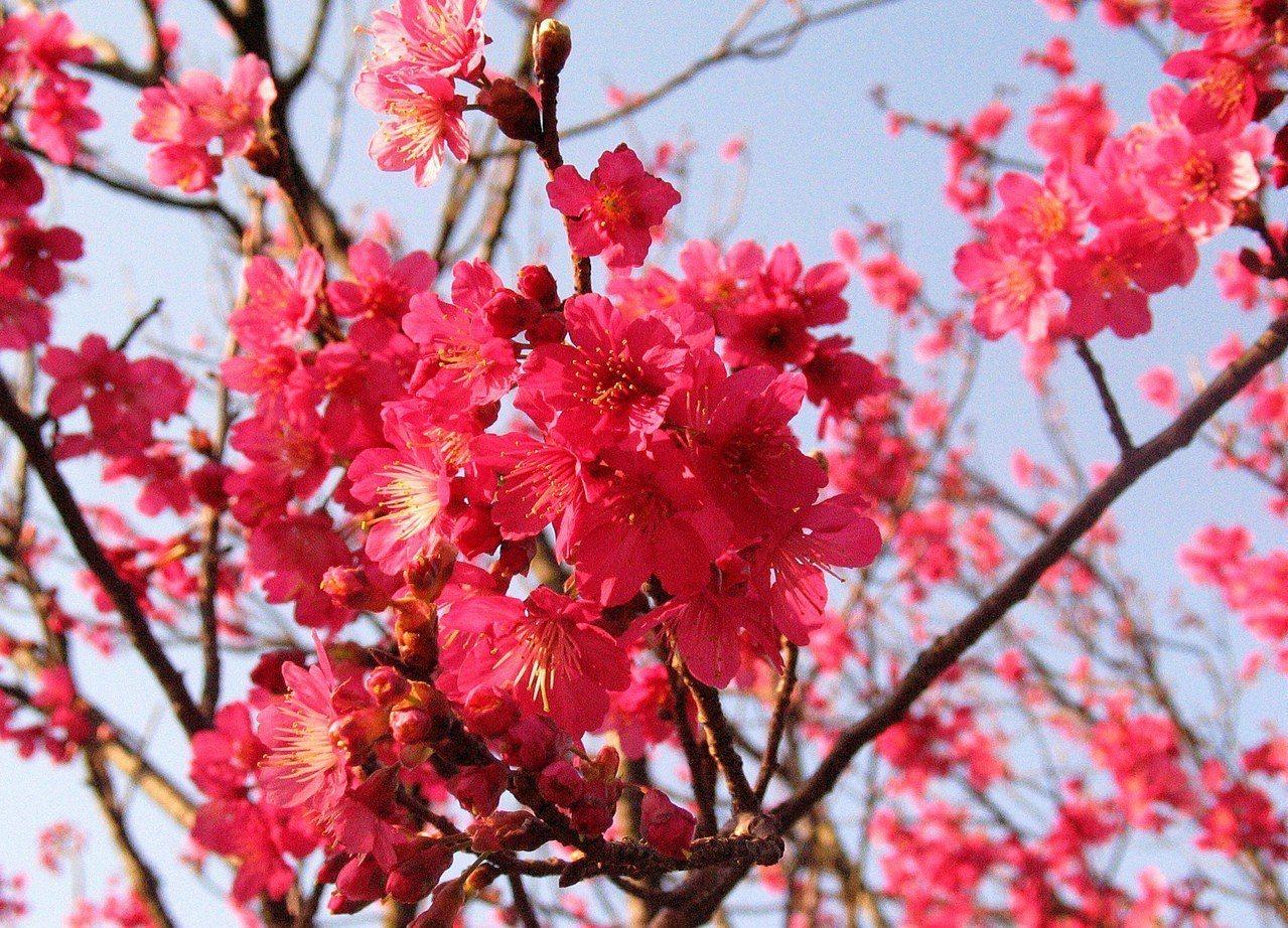 陽明山櫻花。本報資料照/盧振昇攝影