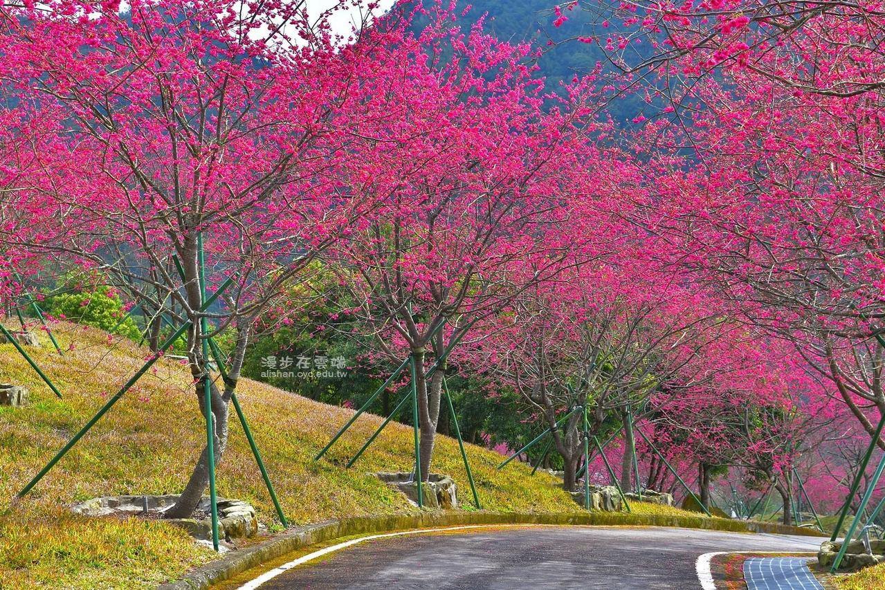 公田彌陀禪寺的櫻花進入盛開期。圖/黃源明提供