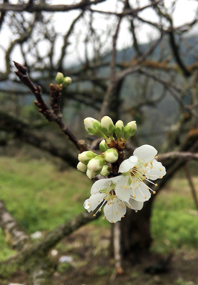 科仔林觀光果園黃柑李花已凋謝,目前還有400株紅肉李樹陸續開花。記者卜敏正/攝影