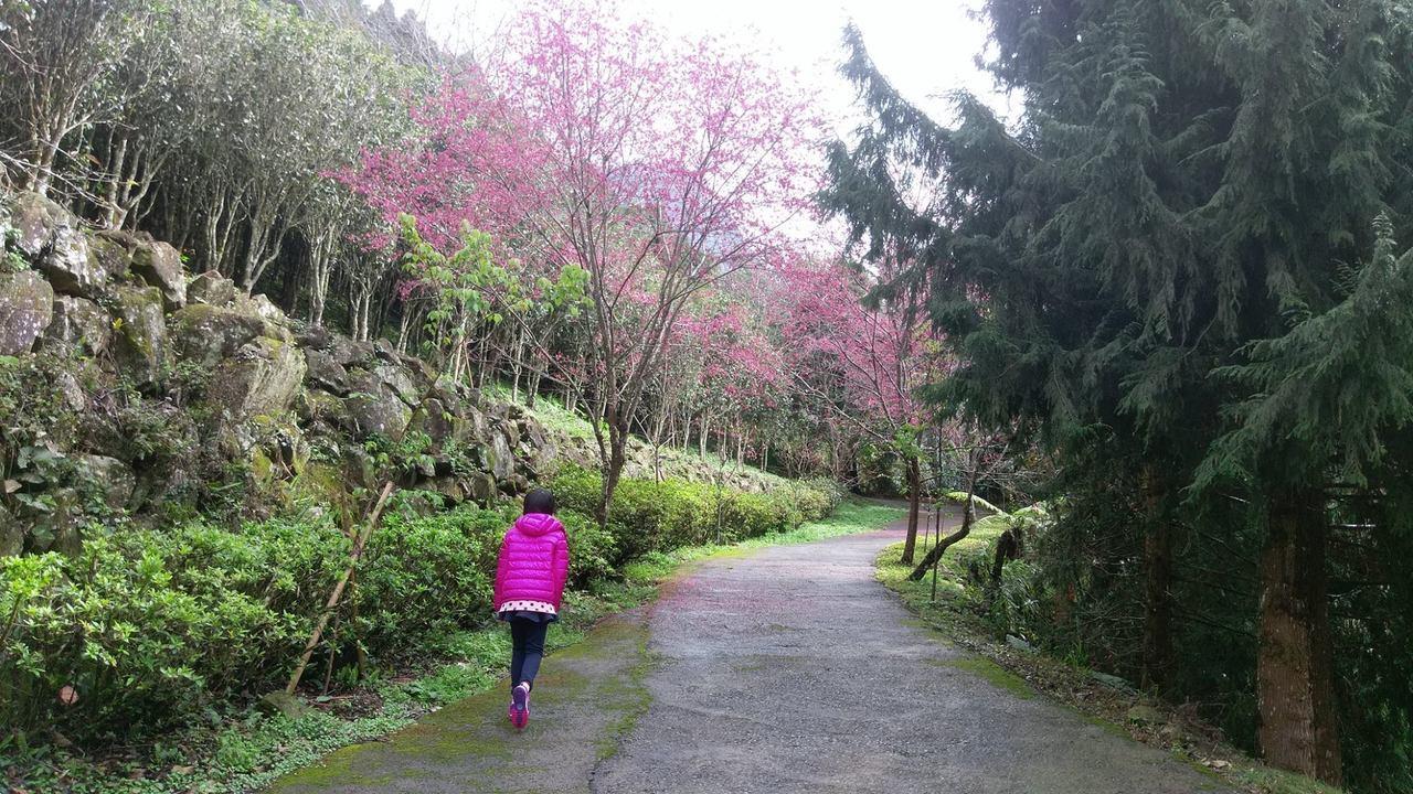 梅山鄉寒溪呢園區粉紅山櫻花陸續綻放。圖/寒溪呢提供