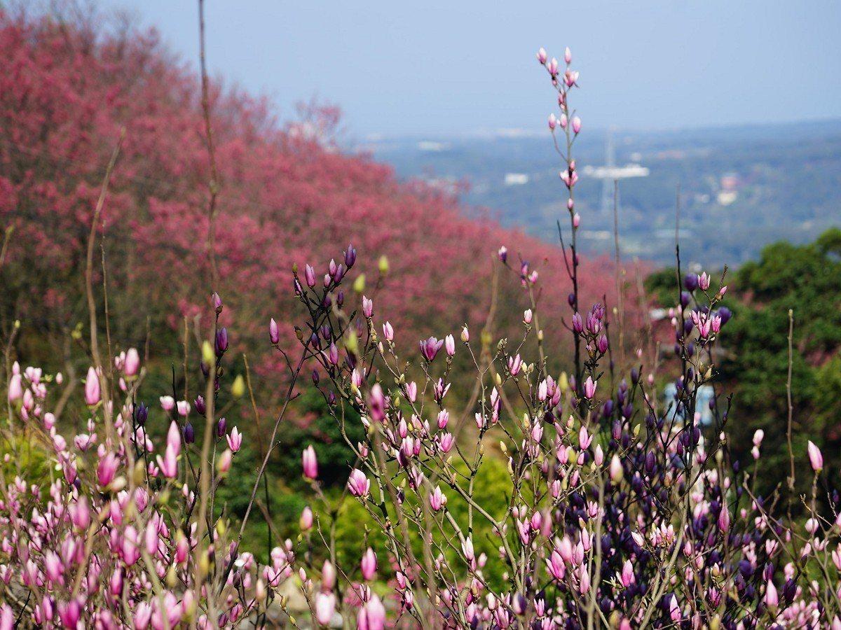 淡水楓樹湖木蓮花含苞待放,園區當中最早開花的就是火紅山櫻花,歡迎民眾春節假期來賞...