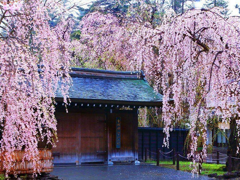 弘前櫻吹雪、角館枝垂櫻,是日本櫻花百選名所之一。 圖/易遊網提供