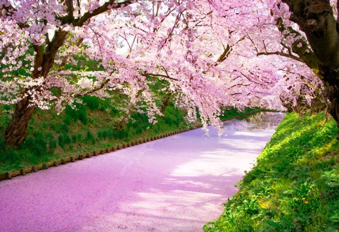 超夢幻粉紅櫻花河,是日本東北賞櫻熱點。  圖/易遊網提供