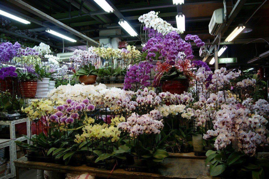 蝴蝶蘭美麗討喜,吉祥如意,是春節最暢銷的應景花卉。圖╱台北花市提供
