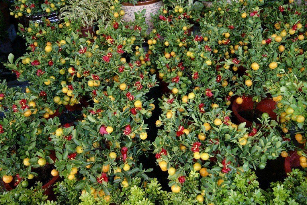 金桔象徵大吉大利。圖╱台北花市提供
