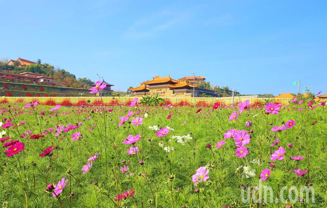 位在佛陀紀念館前高灘地的波斯菊花海,現已搖曳生姿。記者王昭月/攝影