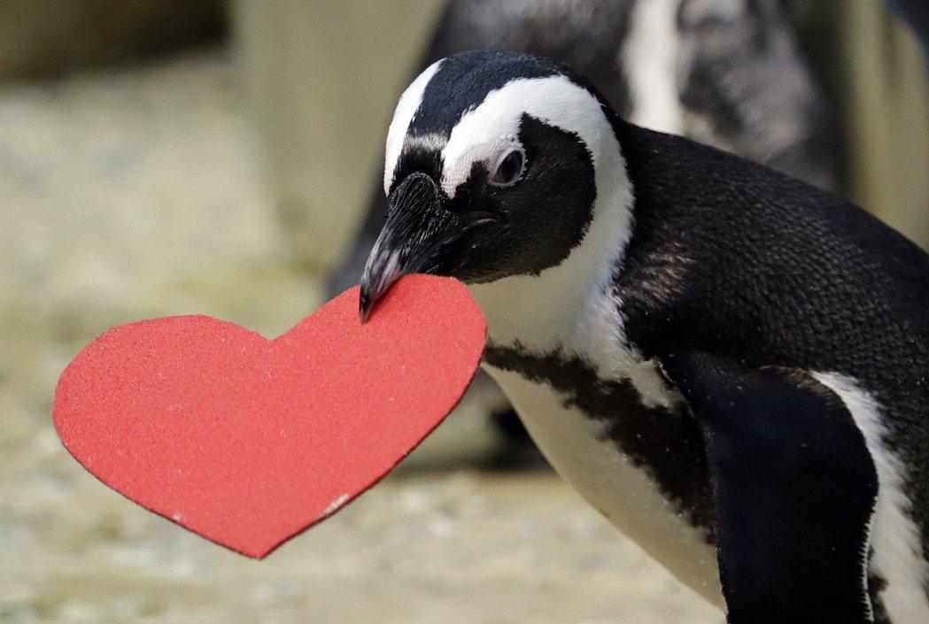 舊金山動物園情人節傳統,提供紅色愛心給企鵝築巢,藉此吸引伴侶的目光。美聯