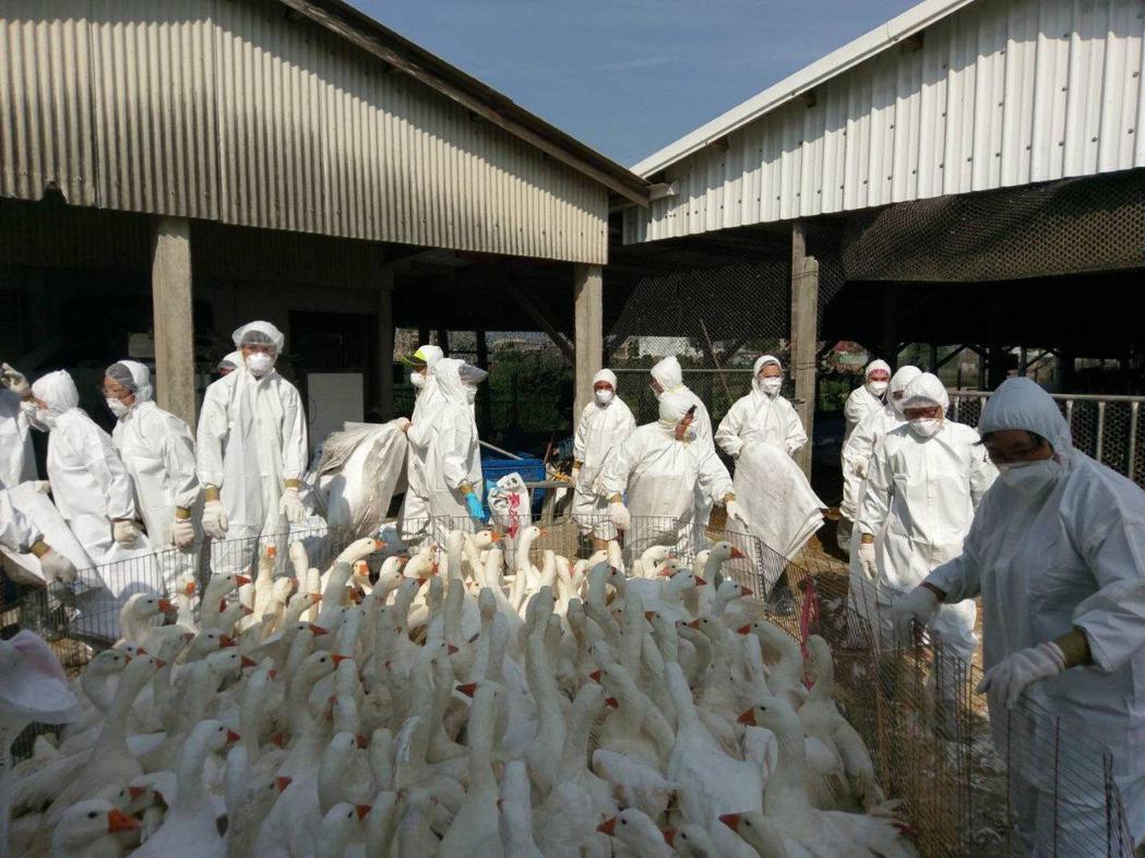 家畜所人員到養鵝場撲殺,感染H5N2亞型高病原性種鵝。圖/嘉義縣政府提供