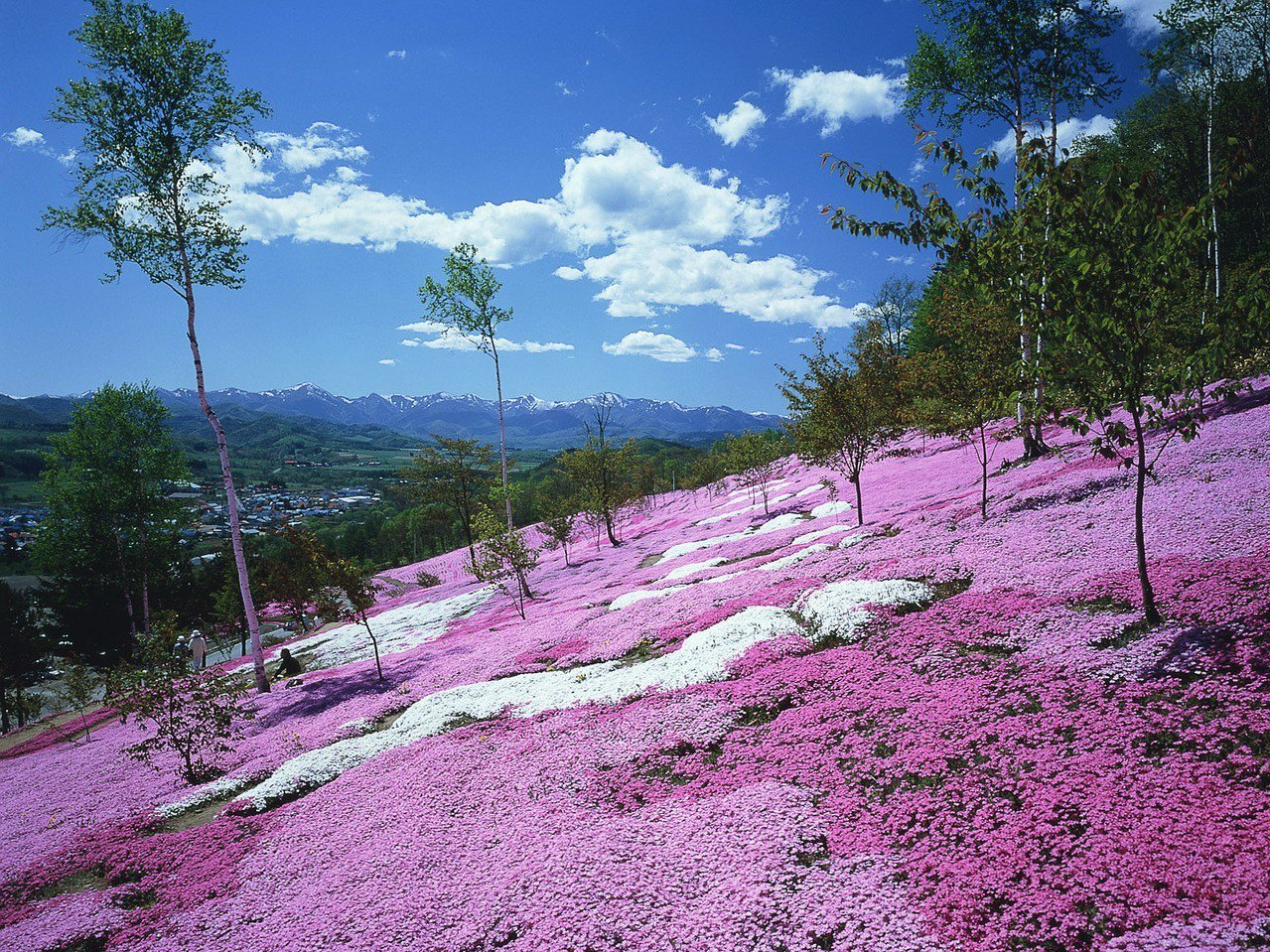日本藻琴山的芝櫻公園。燦星旅遊/提供