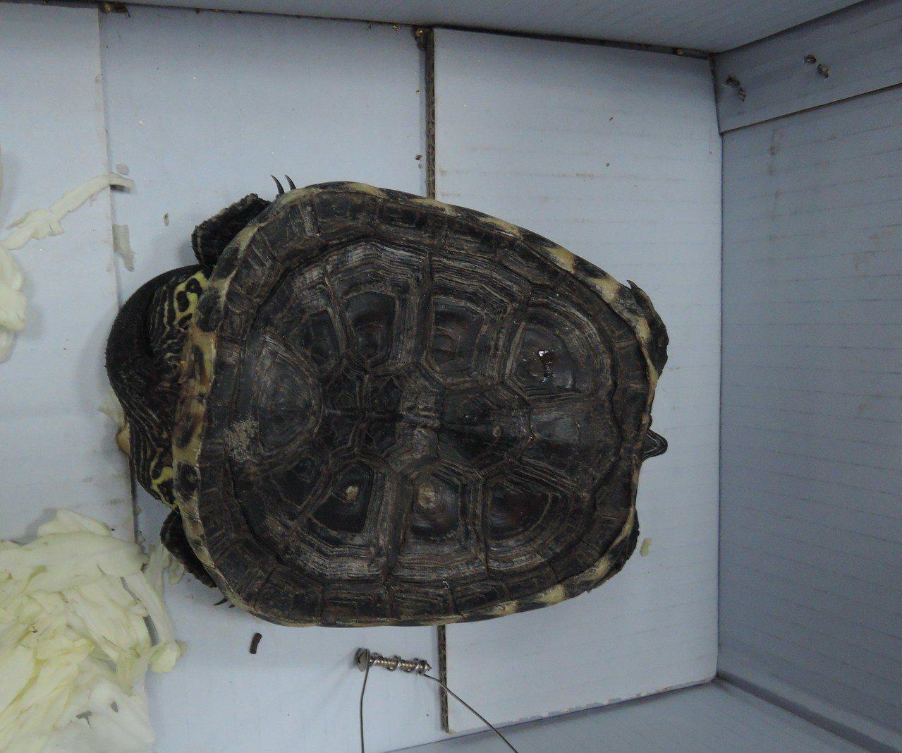 小朋友看到龜殼凹陷以為被車輾急送醫。圖/基隆動保所提供