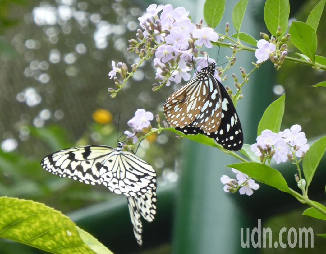 高市金獅湖蝴蝶園今年開始收門票,要看群蝶飛舞得付費。記者楊濡嘉/攝影