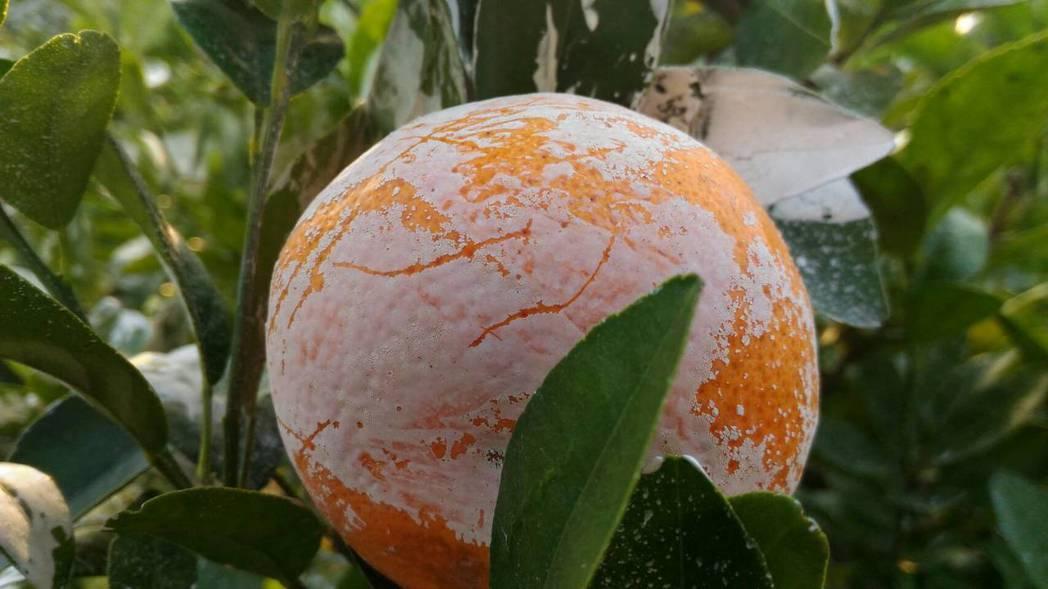 茂谷柑果園常見植株及果實表皮上有層白色粉末,表皮上白色粉末是碳酸鈣粉(CaCO3...