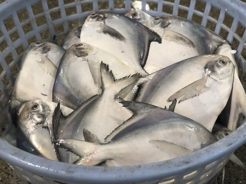 凌晨時分,新鮮魚貨送到嘉義魚市場,領有牌照的承銷人才能進場交易買賣。