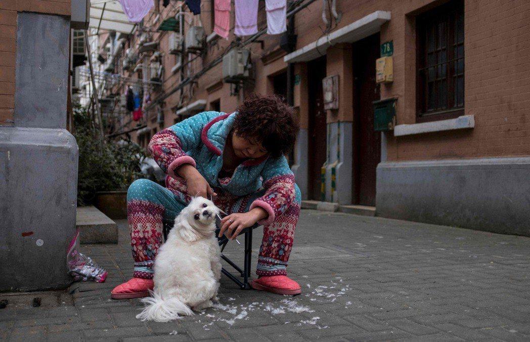 農曆年前,上海一名婦人為她的愛犬剪毛打扮。 法新社