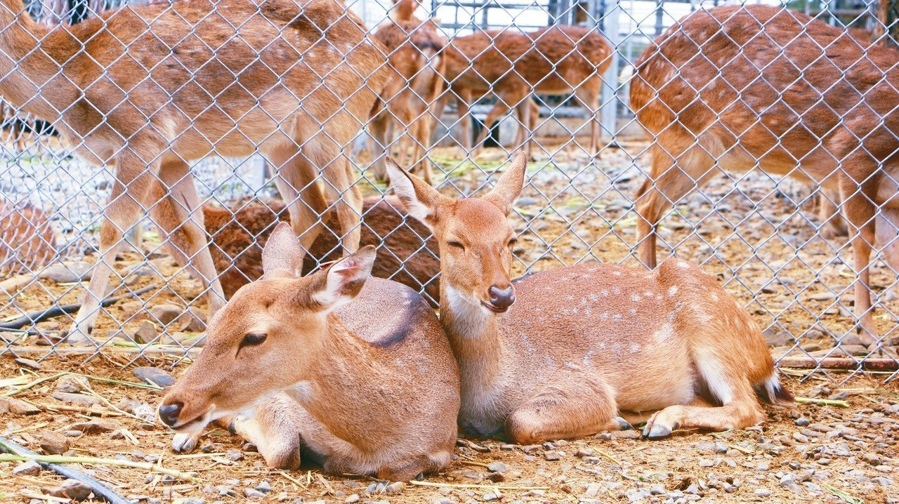 鹿境因為擁有成群親人台灣梅花鹿,被網友稱為台版小奈良。 記者沈佩臻/攝影