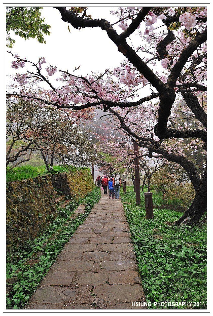 ▲阿里山櫻木花道。(圖/攝影者:Hsiung/d6478coke,Flickr ...