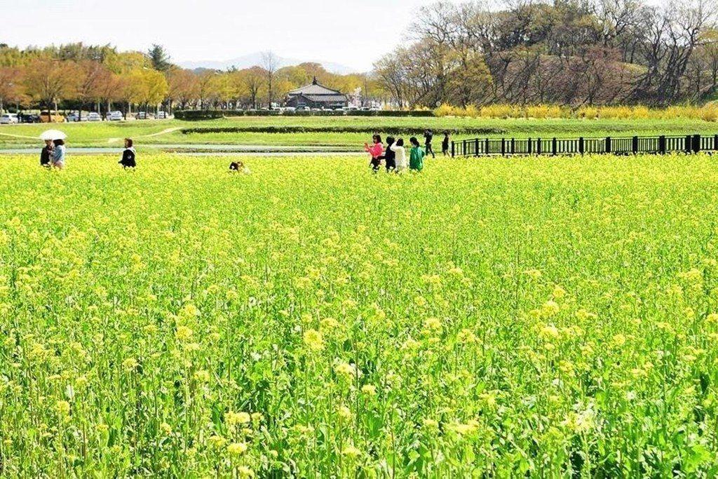 韓國櫻花、油菜花(圖/Tripbaa趣吧!達人帶路)