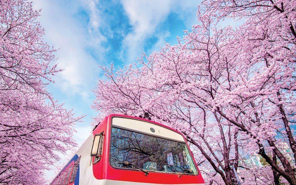 ▲韓國鎮海櫻花。(圖/Tripbaa趣吧!達人帶路)