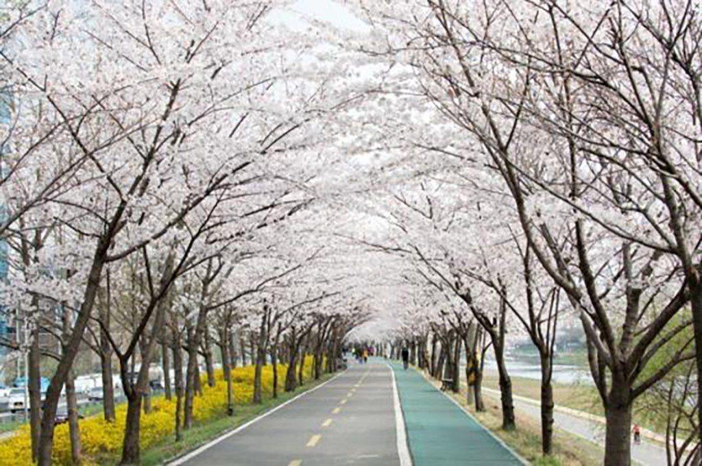 ▲韓國首爾-十里櫻花路。(圖/Tripbaa趣吧!達人帶路)