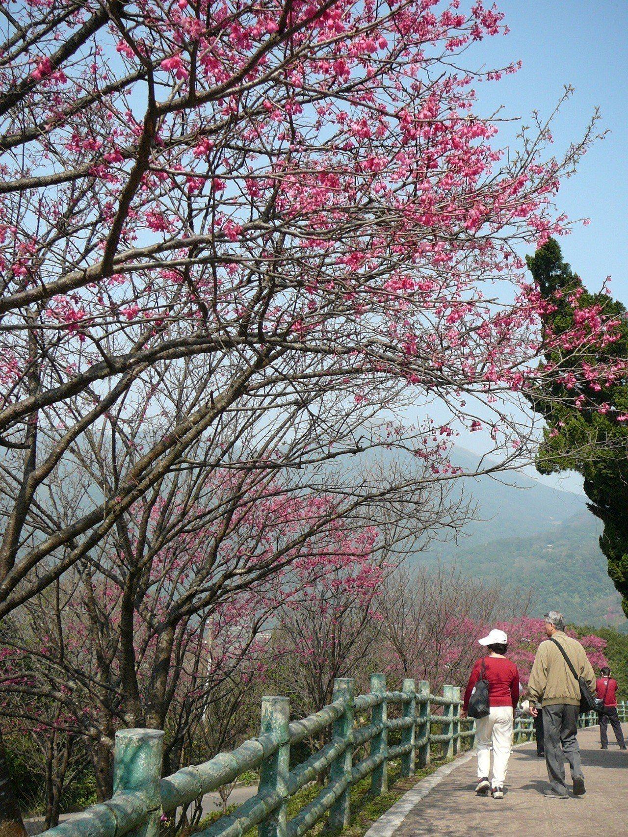 冬去春來,陽明山上櫻花盛開,正是走春賞花好時節。 圖/台北市公園處提供
