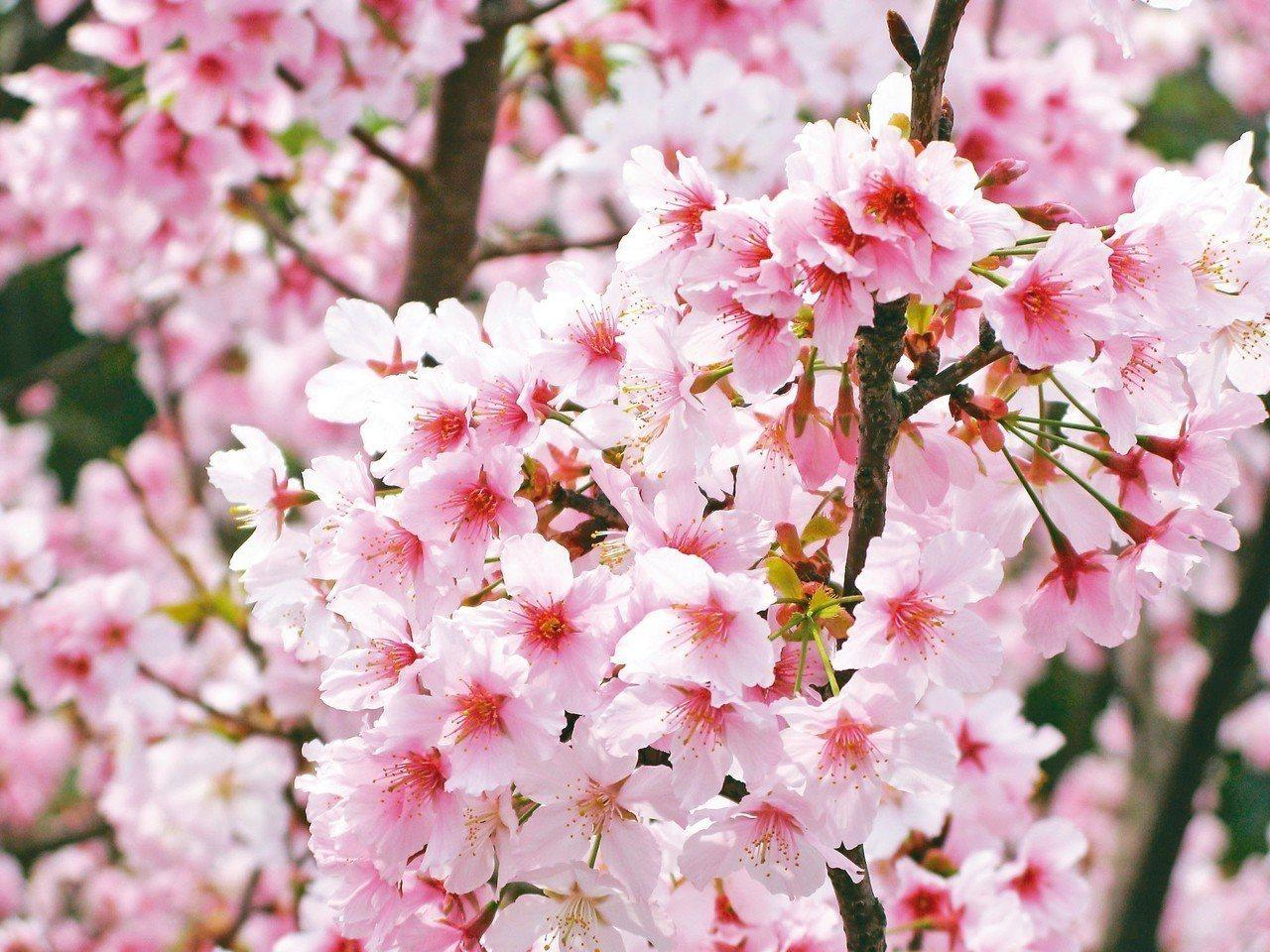 淡雅粉嫩的櫻花是陽明山花季主角。 圖╱台北市公園處提供