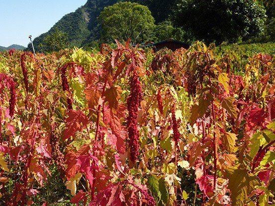 每年農曆一到四月,是紅藜盛開的季節。 業者/提供。