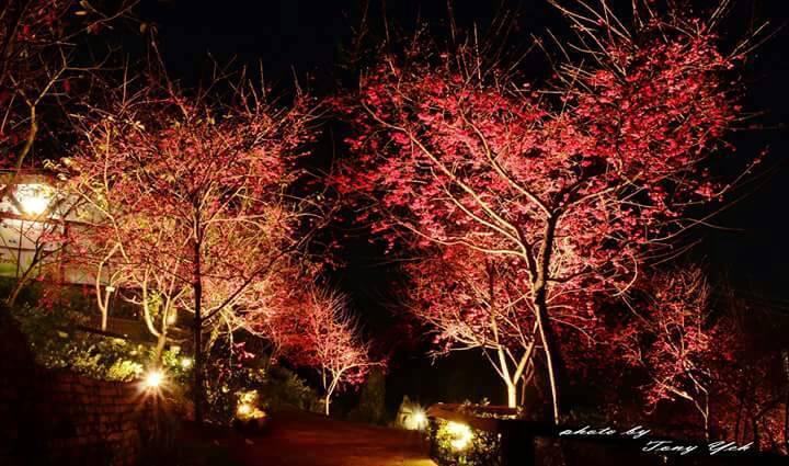 園區夜間賞櫻。圖/葉耀禎提供