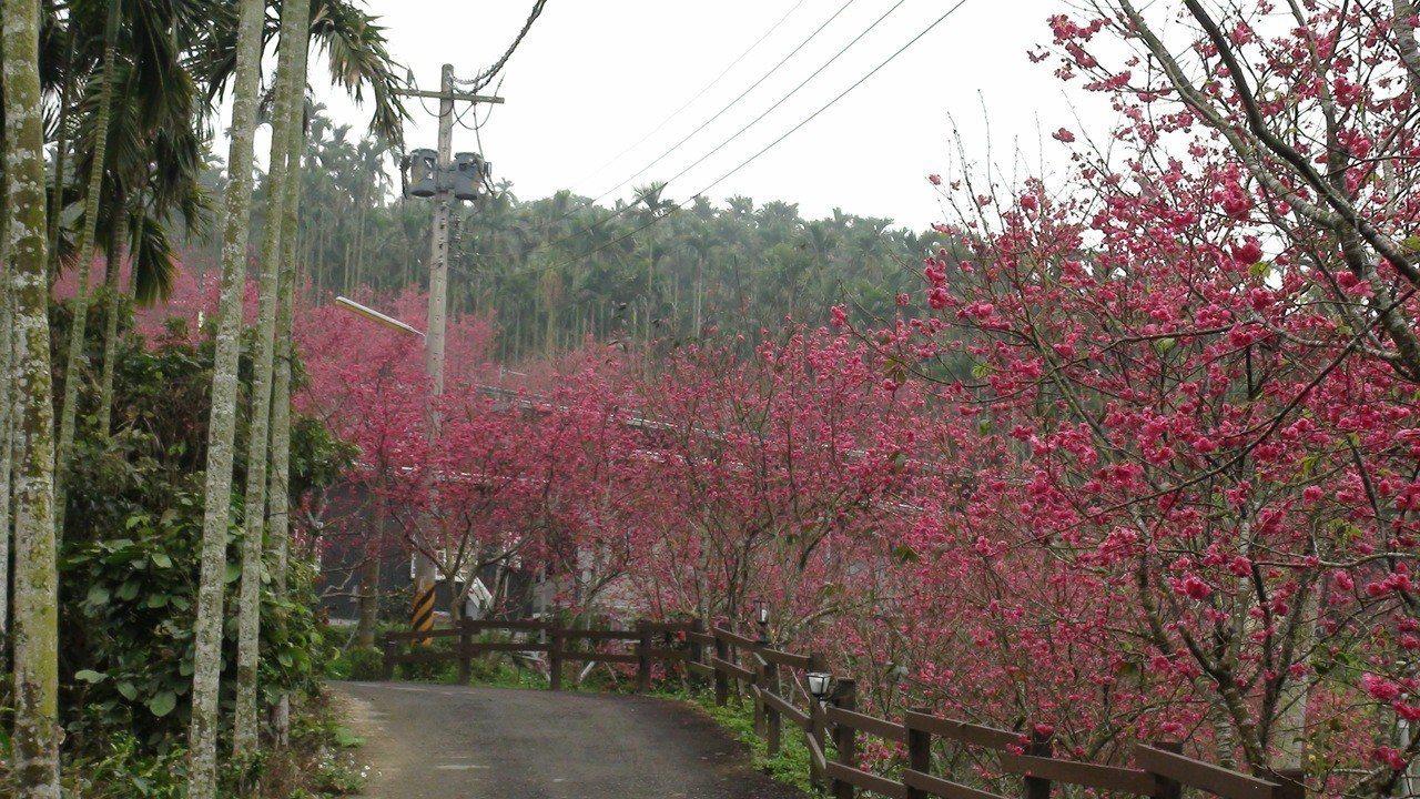 鶯山民宿栽種3000多株櫻花,最近盛開。記者謝恩得/攝影