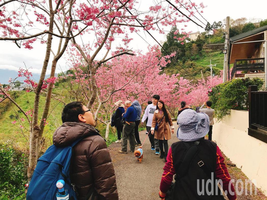 桃園市復興區巴陵櫻木花道櫻花綻放,花期將延續1至2週,遊客在3月初仍可前往賞花。...