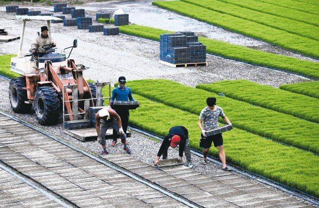 1月底花東縱谷農民忙育苗。 記者曾吉松/攝影