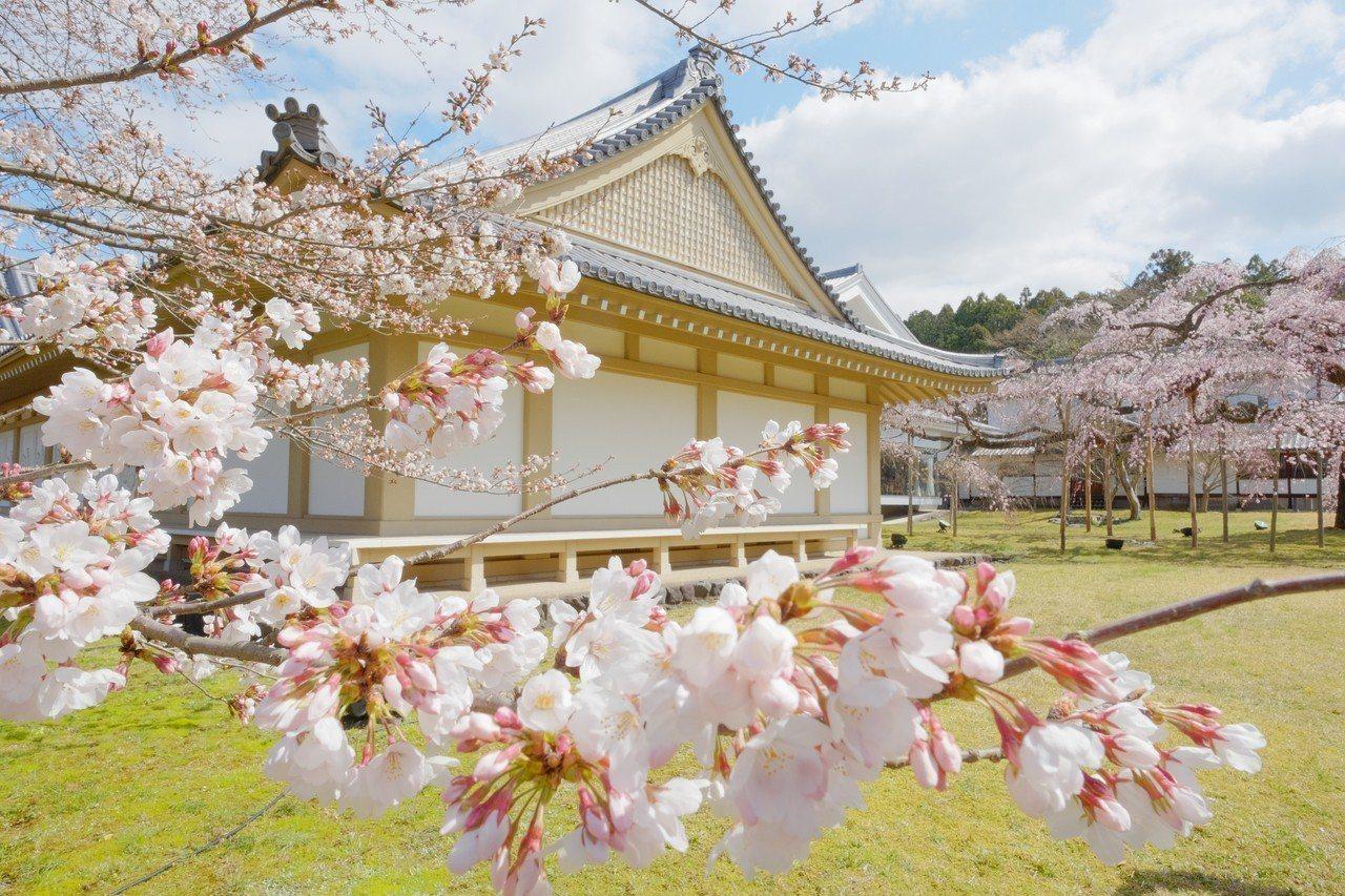 四月遊日本,正是追櫻時節,宇治的醍醐寺被稱為日本最美麗的寺院,怒放的櫻花,吸引大...