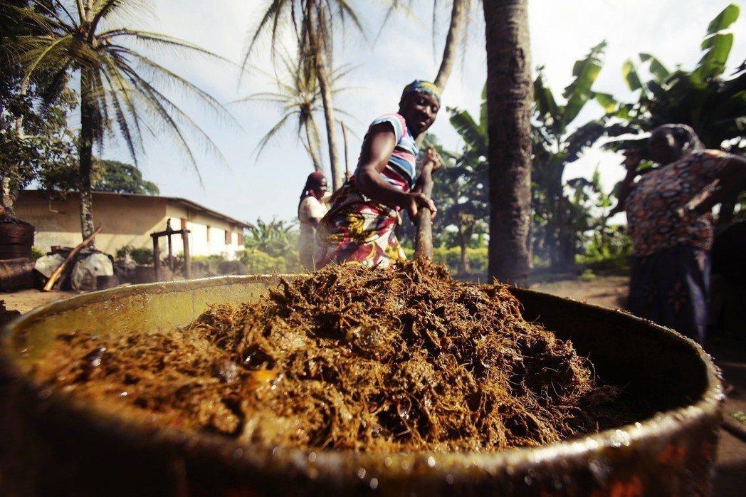 生長在熱帶的油棕,源自西非和中非,是非洲居民傳統生活不可或缺的一部分。圖為象牙海...