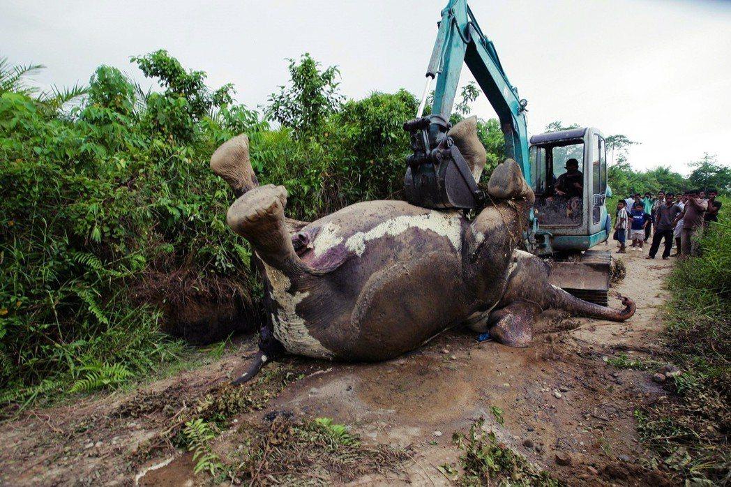 大規模的油棕開發,讓許多東南亞雨林的原生物種,棲地皆遭破壞,生存受到嚴重威脅。圖...