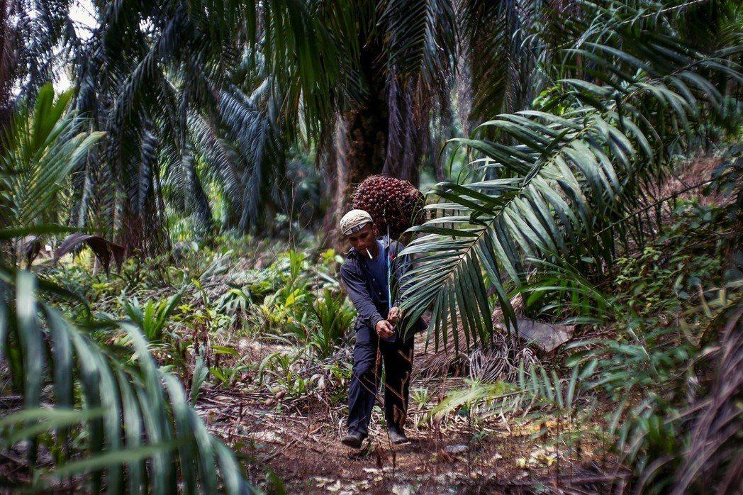油棕林的最大問題,在於它的地點,恰好位於高碳匯泥炭地和生物多樣性豐富獨特的東南亞...