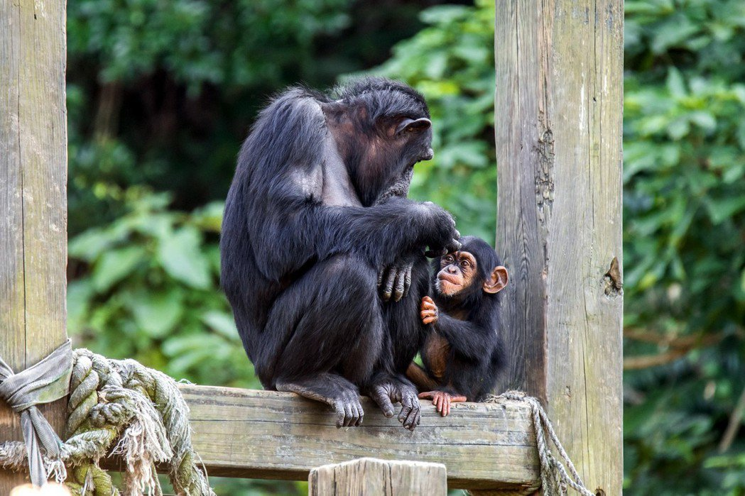 黑猩猩。圖/台北市立動物園提供