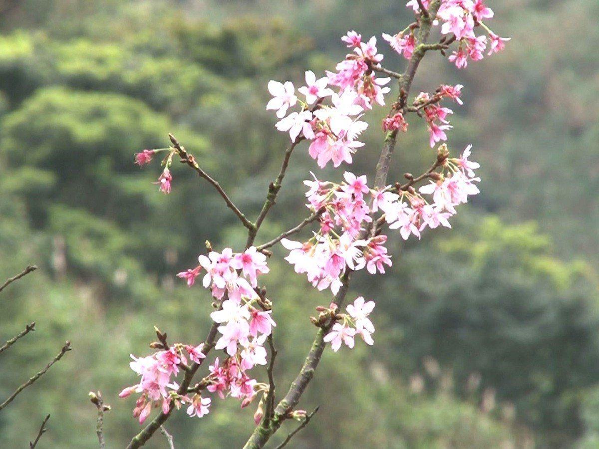 黃金博物館的日式建築襯著桃色、粉色的櫻花們,充滿著濃濃的日式氛圍,歡迎遊客來此一...