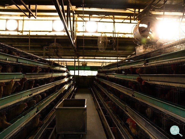 郭銘祥採用金字塔式的雞舍設計,每間雞舍兩邊的雞籠只有5至6層,並呈梯級形狀。(攝...