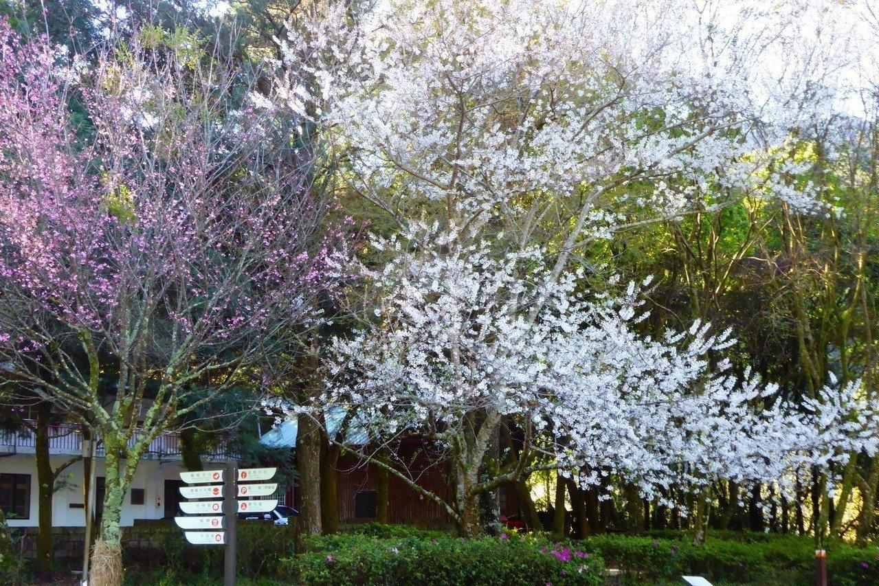 奧萬大國家森林遊樂區近期春櫻盛綻,瀰漫著浪漫繽紛氛圍。圖/南投林管處提供