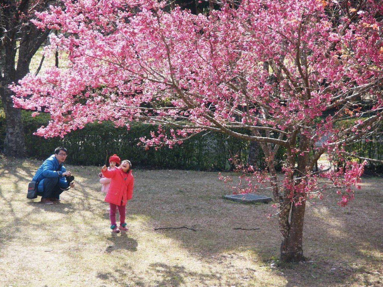 春天正是櫻花盛開季節,奧萬大園區櫻花目前持續綻放,相當迷人。圖/南投林管處提供