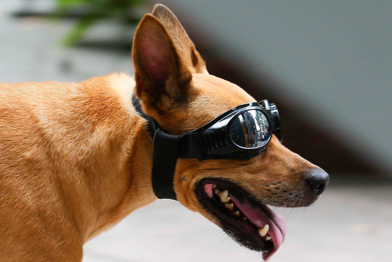 狗狗帶起深色眼鏡遮陽。聯合報系資料照/王騰毅攝影