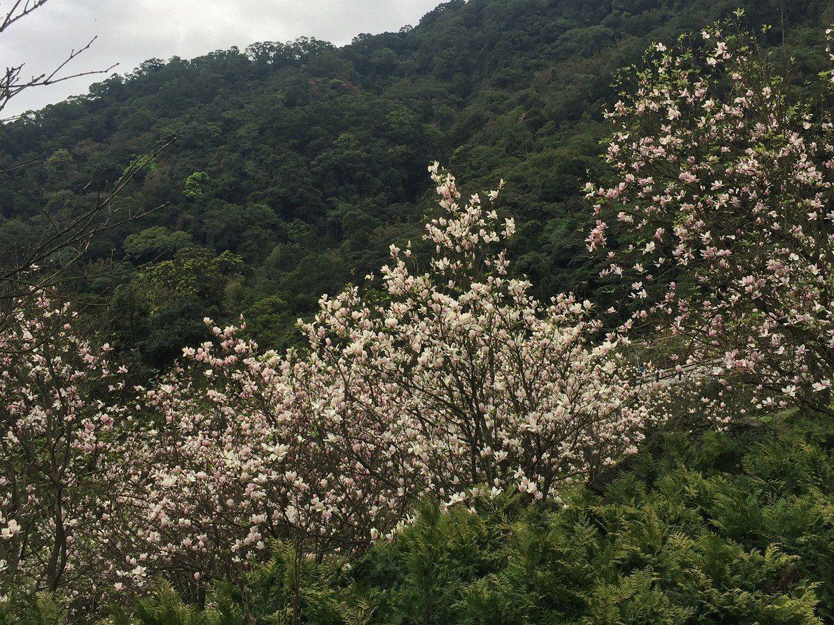 淡水楓樹湖最有名的木蓮花,現在已經盛開,預計有二十天左右的花期,想賞花的民眾可要...