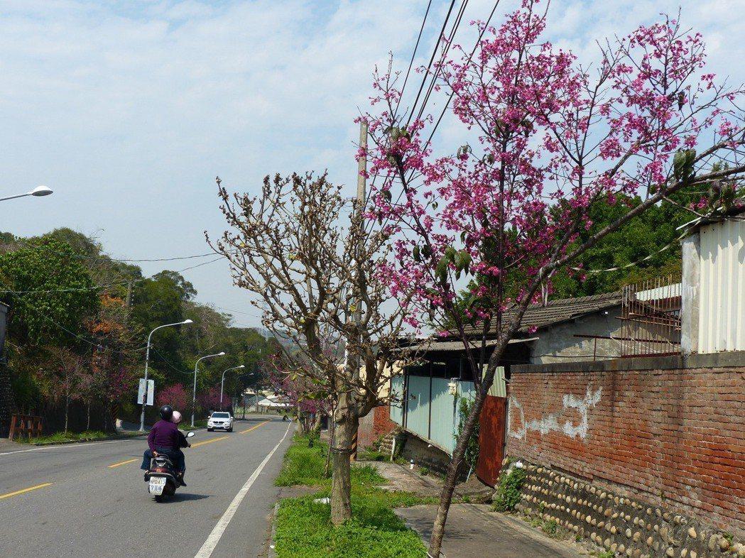 山櫻花是彰化市市花,全市栽種約上萬株,目前在公園路兩側的山櫻花盛開。記者劉明岩/...