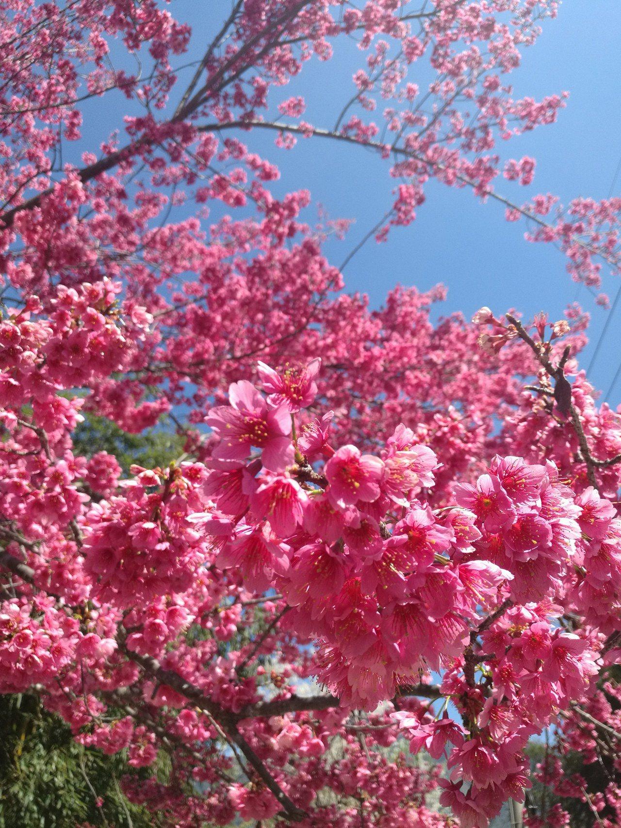 全台空氣品質拉警報,但新竹新光部落擁有整片蔚藍的天空、盛開櫻花,以及最棒的新鮮空...