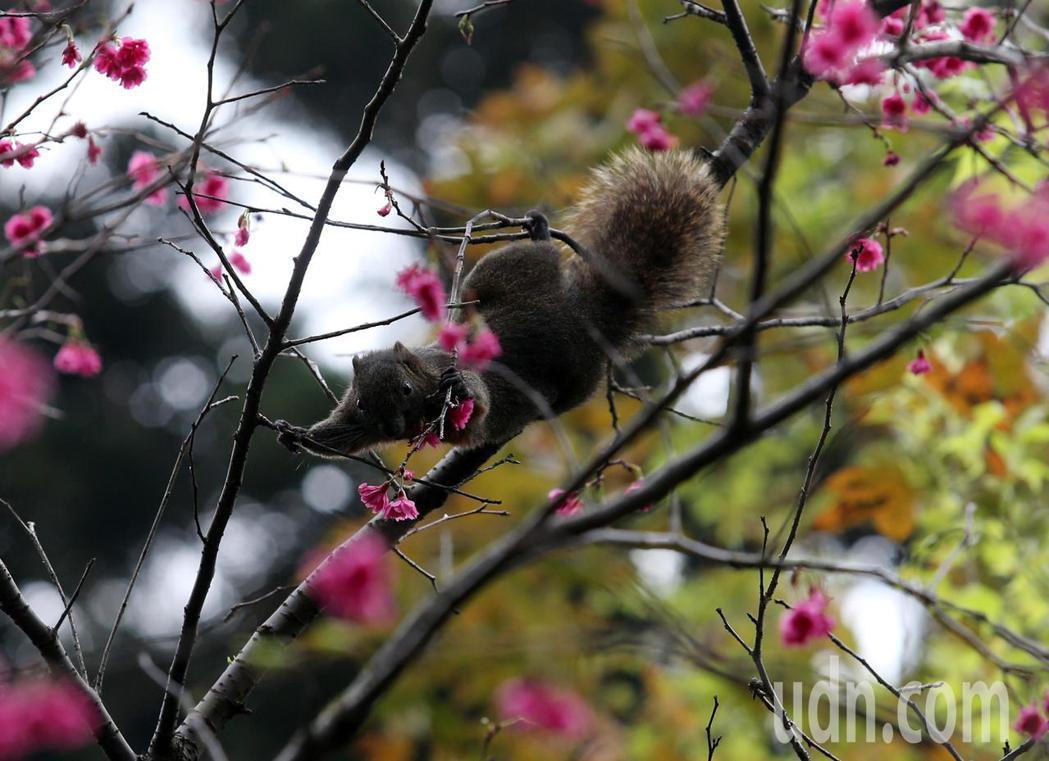 今天周末天氣暖和,許多民眾戶外走春,台北中正紀念堂櫻花正開,也只有在這個時節,才...