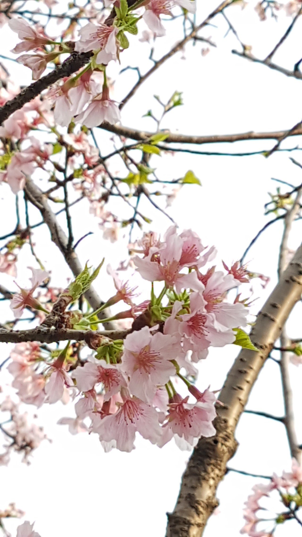 中正紀念堂櫻花正盛開。記者王彩鸝/攝影