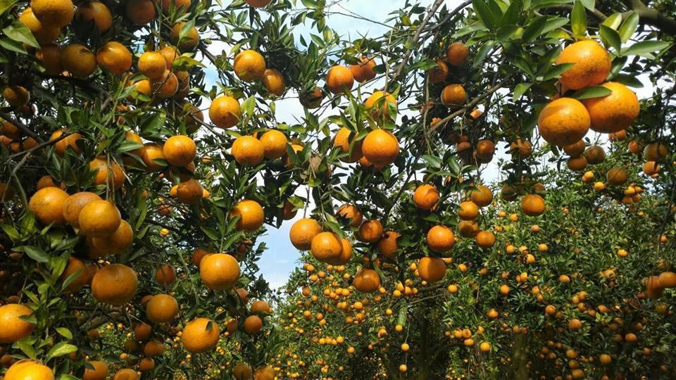 峨眉柑心園業者表示,2萬多斤的桶柑已經被熱情民眾採光光,要大家不要再打電話過去了...