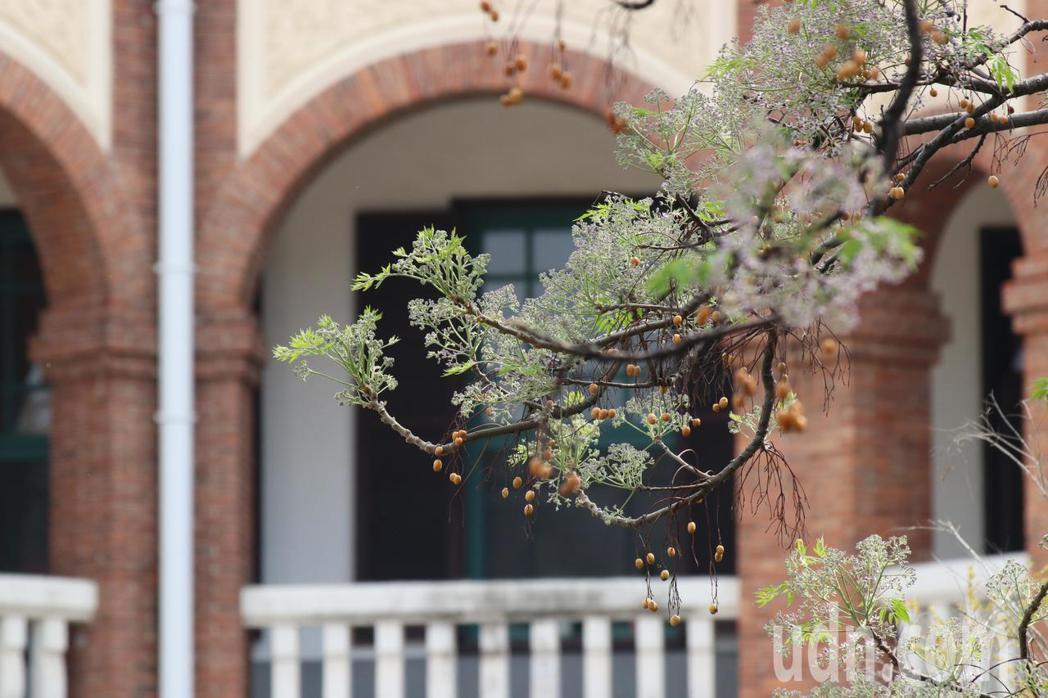 台南知事官邸前的苦楝樹準時開花,淡紫色苦楝花彷彿雪花般如夢似幻。記者綦守鈺/攝影