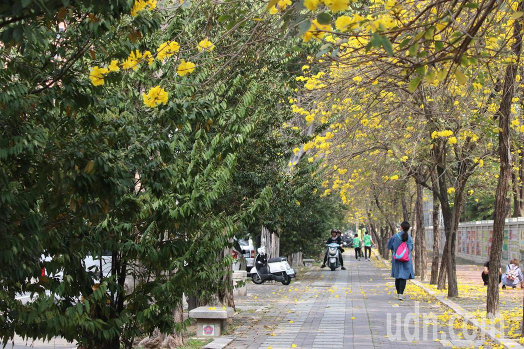 台南市東區林森路、東豐路一帶黃花風鈴木盛開,黃澄澄的花朵點綴藍色天空,迎來春天的...